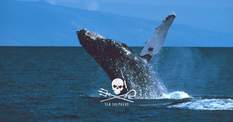 Sea Shepherd Conservation Society дават добро име на пиратите и веганизма през 21 век.